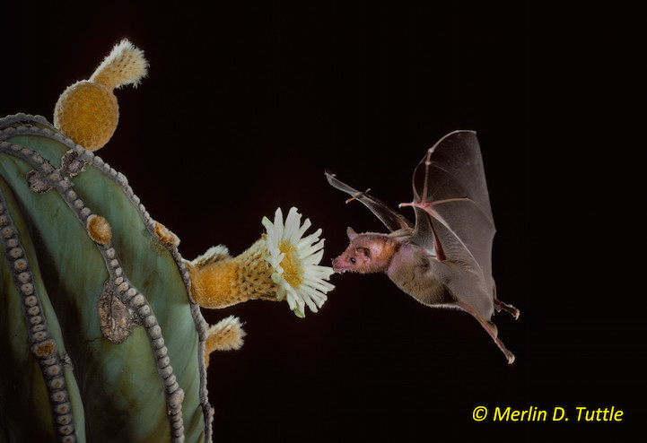 Lesser long-nosed bat (Leptonycteris yerbabuenae; Phyllostomidae) at cardon cactus