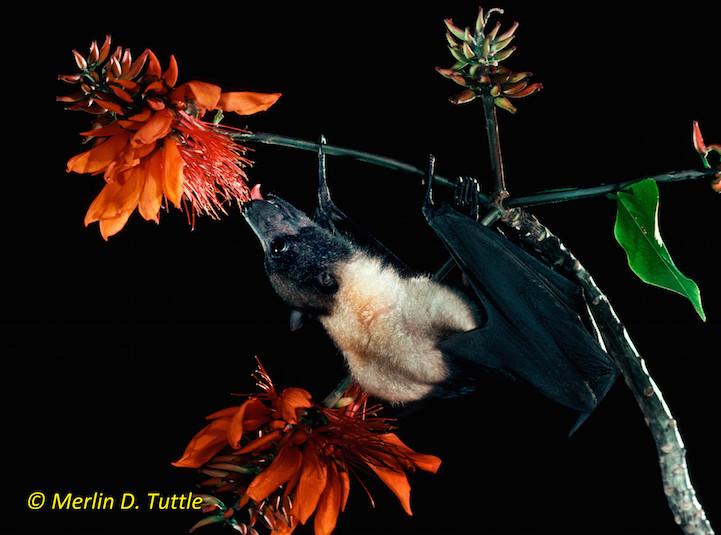 Marianas flying fox (Pteropus mariannus, Pteropodidae)