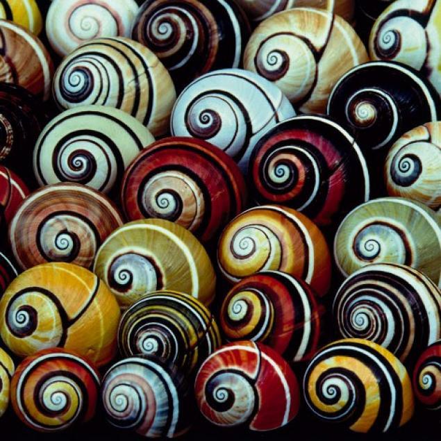 Polymita picta caracol pintado arcoiris 8