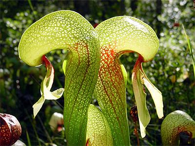 plantas-carnivoras