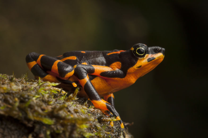 The Variable Harlequin Frog was thought to be extinct before being rediscovered in Costa Rica