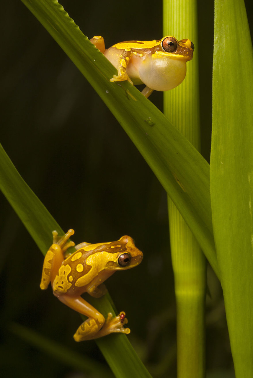 A male hourglass frog, Dendropsophus ebraccatus, calls to a female on a blade of grass below on the Osa Peninsula of Costa Rica