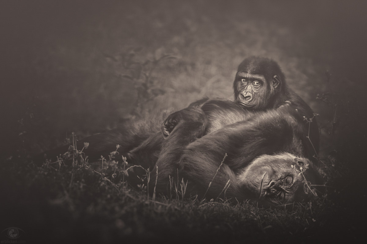 No thought, no mind, no choice — just being silent, rooted in yourself (Osho)!I love this scene :o)!Facts: Gorillas are charismatic, intelligent, and in danger. Gorillas display many human-like behaviors and emotions, such as laughter and sadness.
