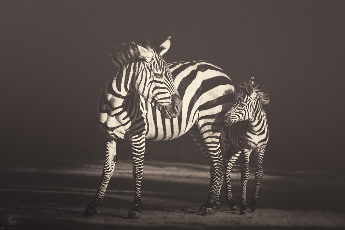 I asked the Zebra, are you black with white stripes? Or white with black stripes? And the zebra asked me: Are you good with bad habits? Or are you bad with good habits? Are you noisy with quiet times? Or are you quiet with noisy times? Are you happy with