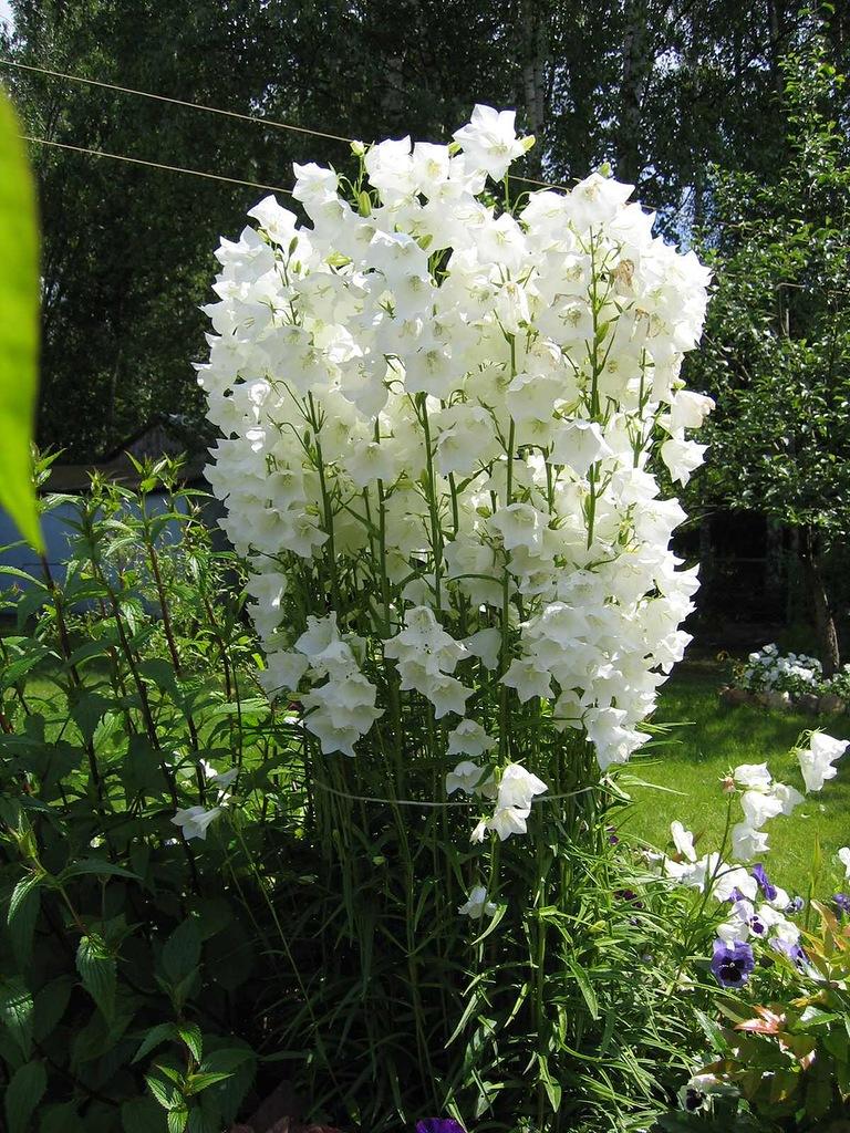 Многолетний садовый цветок белый
