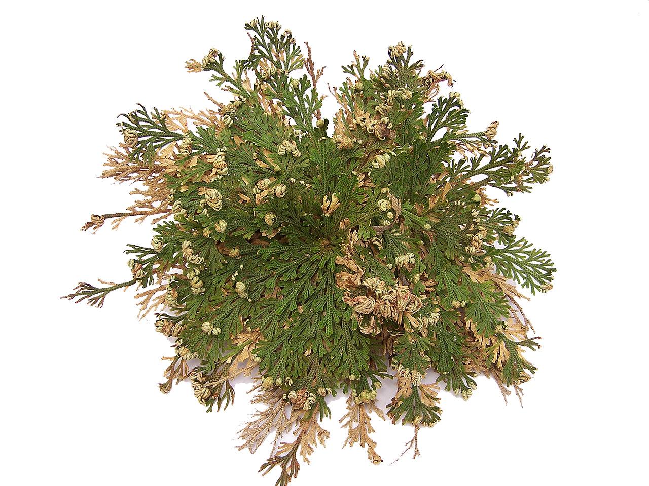 Selaginella lepidophylla Unechte Rose von Jericho Auferstehungs Moosfarn Moosfarngewächse Selaginellaceae 05