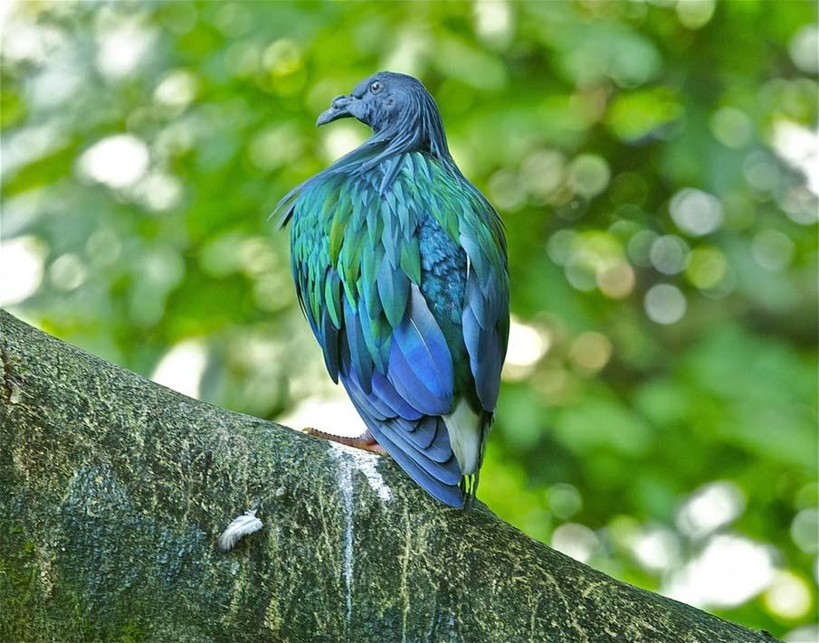Nicobar Pigeon (Caloenas nicobarica)