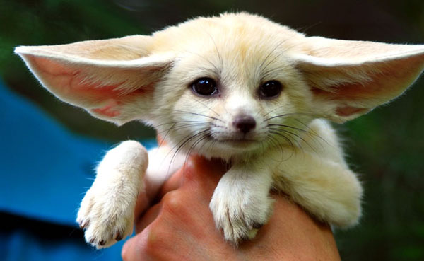 Фенек (fennec fox) (2)