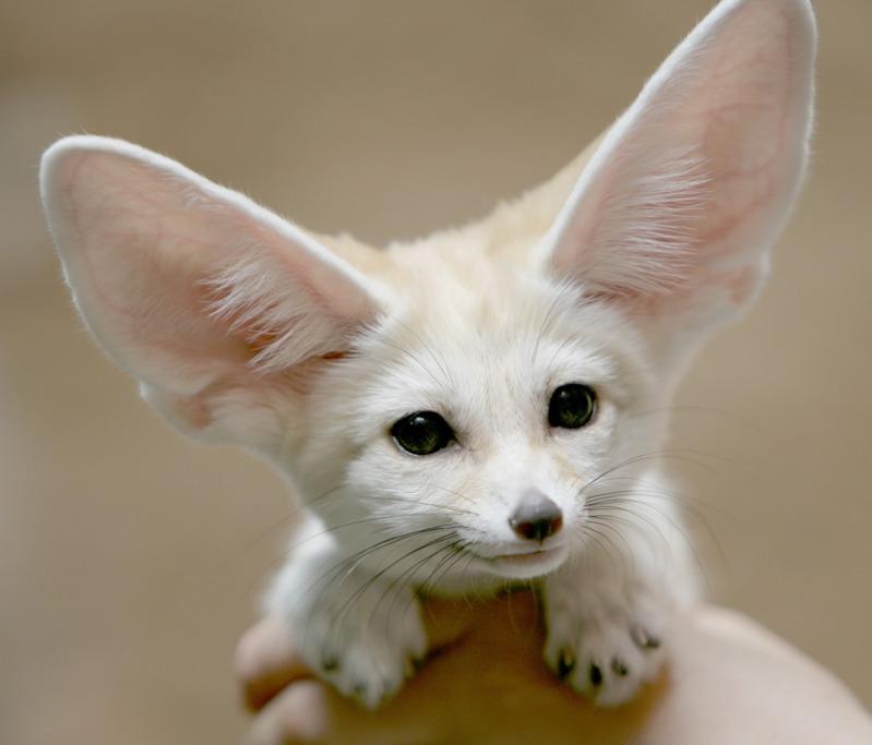 Фенек (fennec fox) (20)