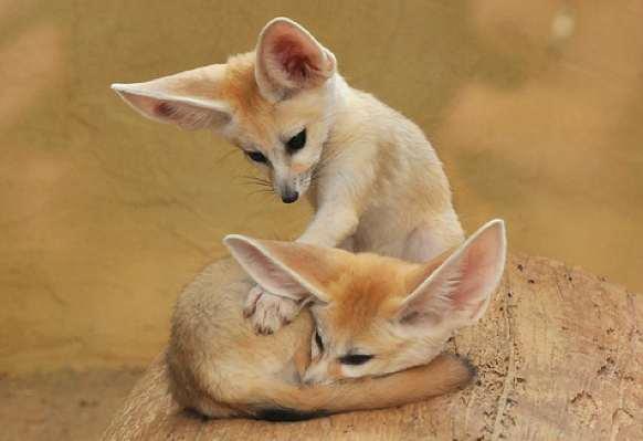 Фенек (fennec fox) (32)