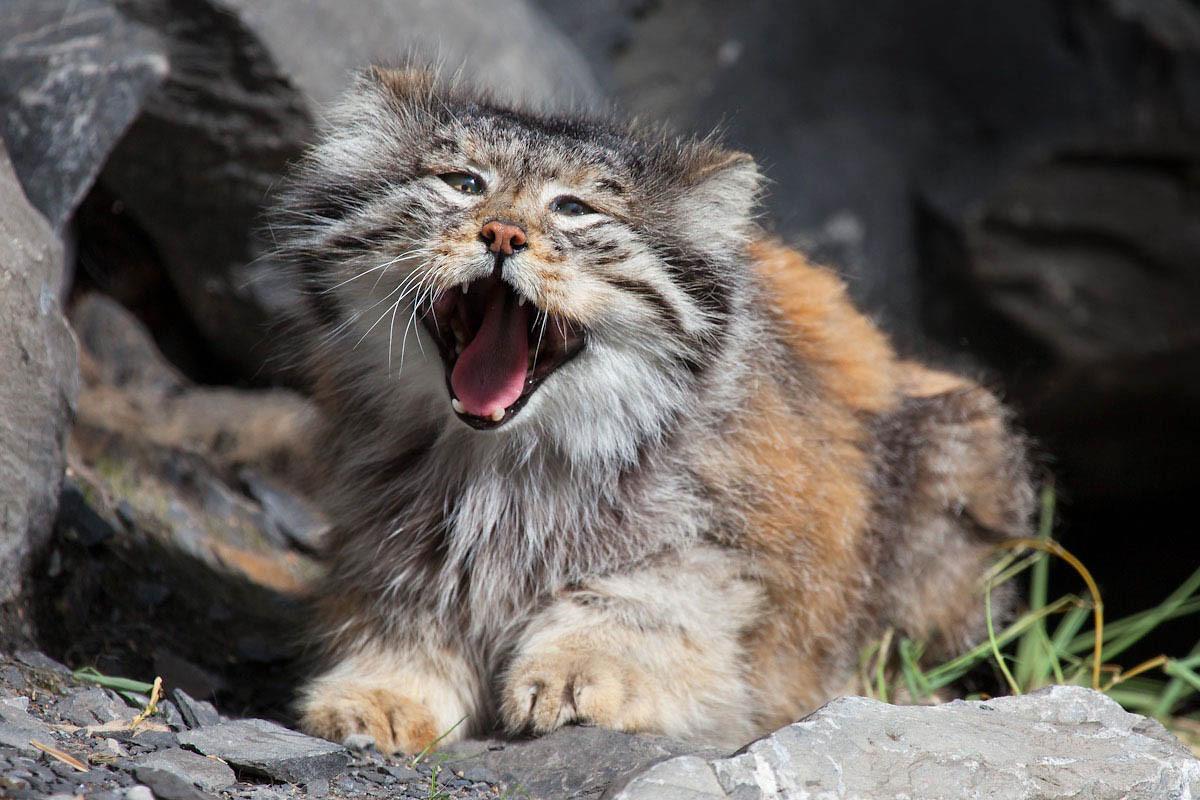 Manul - asiatische Wildkatze - Zoo Zürich