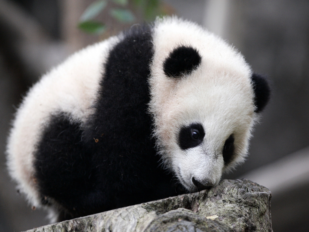 Giant panda cub makes its debut at the San Diego Zoo