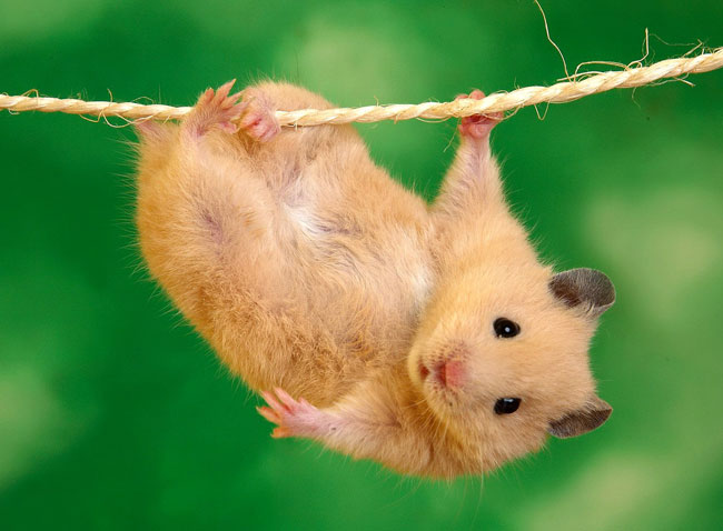 99841326_large_3509727_hamstercare2
