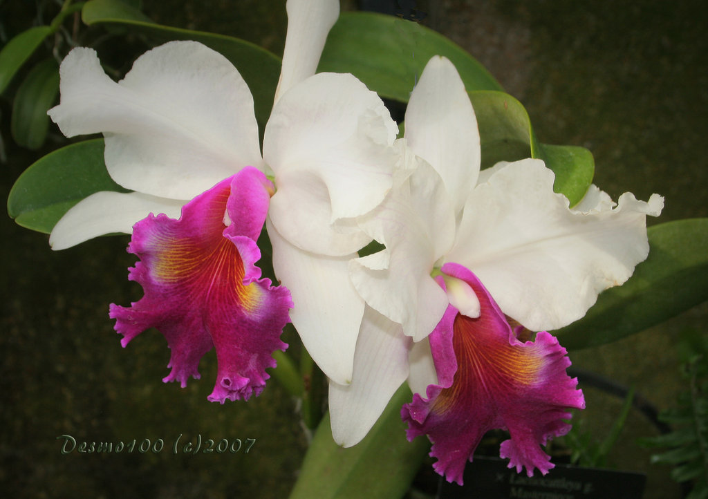 Magenta_and_White_Orchids_by_desmo100