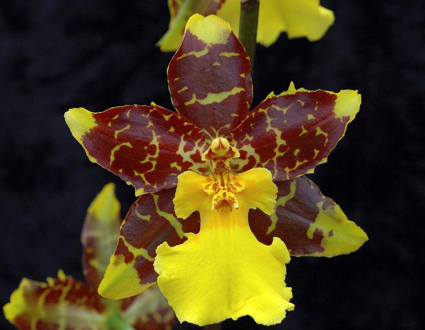 orhideja_4