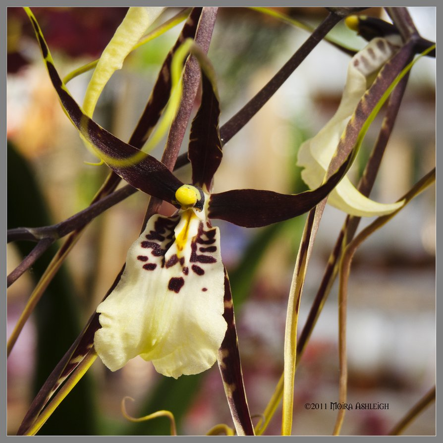 orchid_bloom_by_mogrianne-d3dicga
