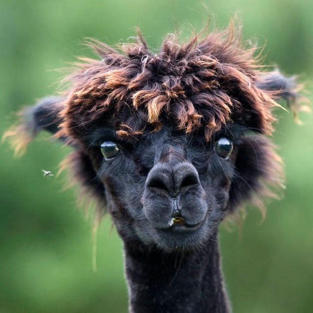 A newly sheared alpaca (Vicugna Pacos) looks on as its stand in pastures in Eugendorf, Austrian province of Salzburg, on Tuesday, Aug. 3, 2010. (AP Photo/Kerstin Joensson)