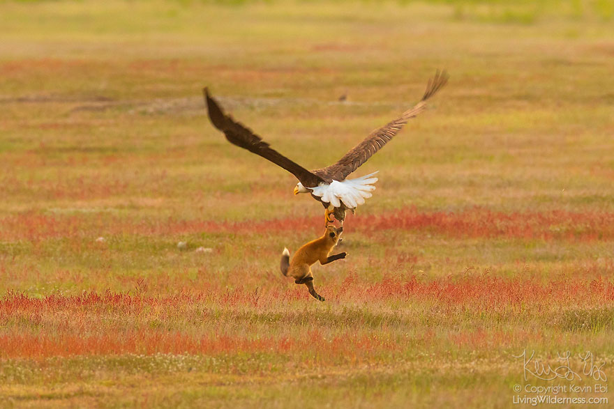wildlife-photography-eagle-fox-fighting-over-rabbit-kevin-ebi-2-5b0661e5b1a11__880.jpg