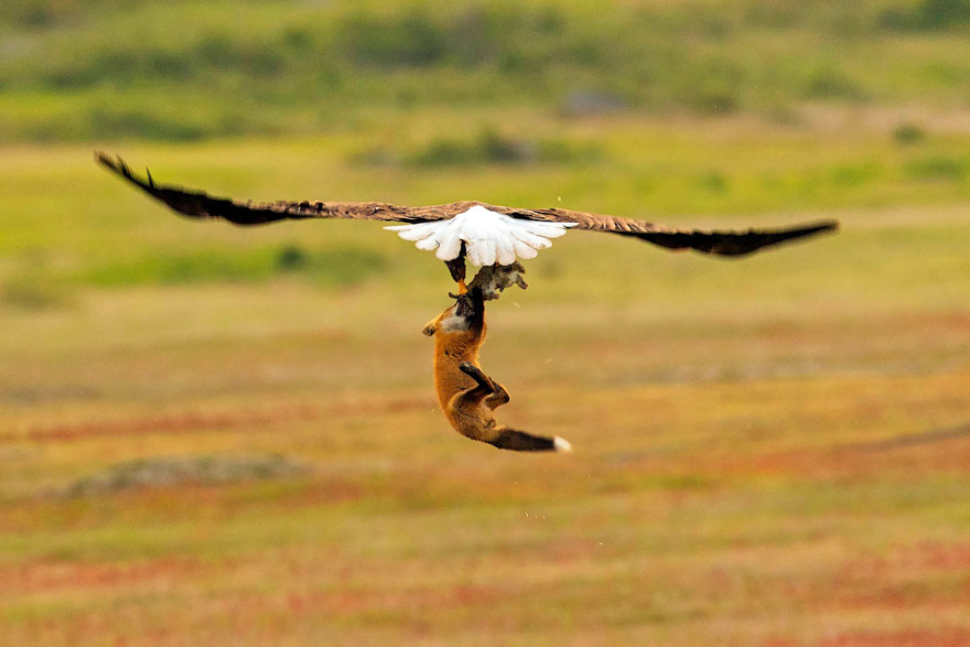 wildlife-photography-eagle-fox-fighting-over-rabbit-kevin-ebi-5-5b0661ebb3686__880.jpg