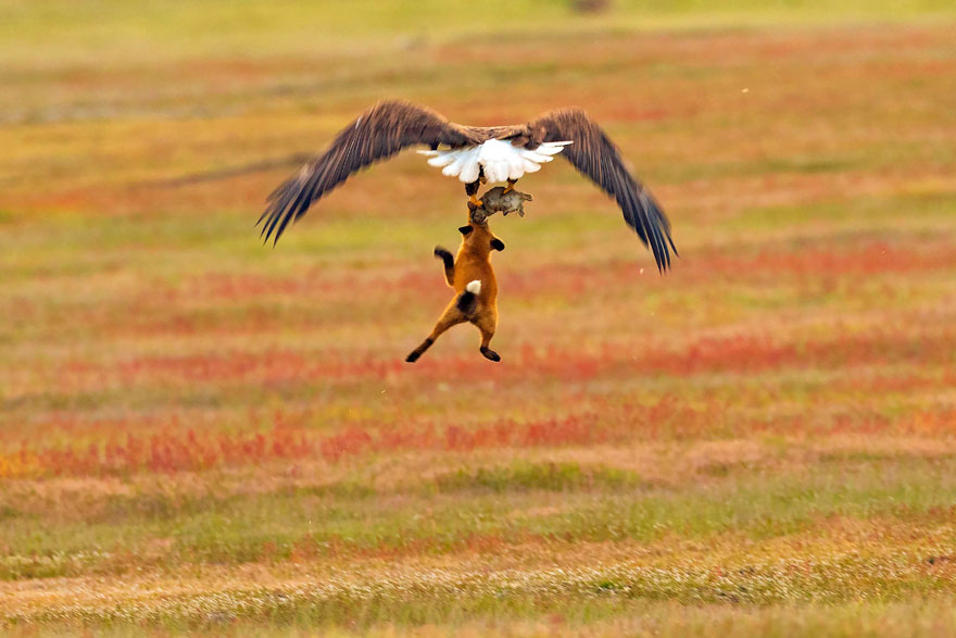 wildlife-photography-eagle-fox-fighting-over-rabbit-kevin-ebi-6-5b0661edc4434__880.jpg