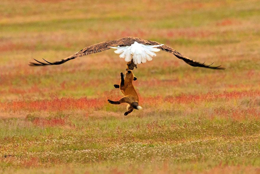 wildlife-photography-eagle-fox-fighting-over-rabbit-kevin-ebi-7-5b0661f0f123c__880.jpg