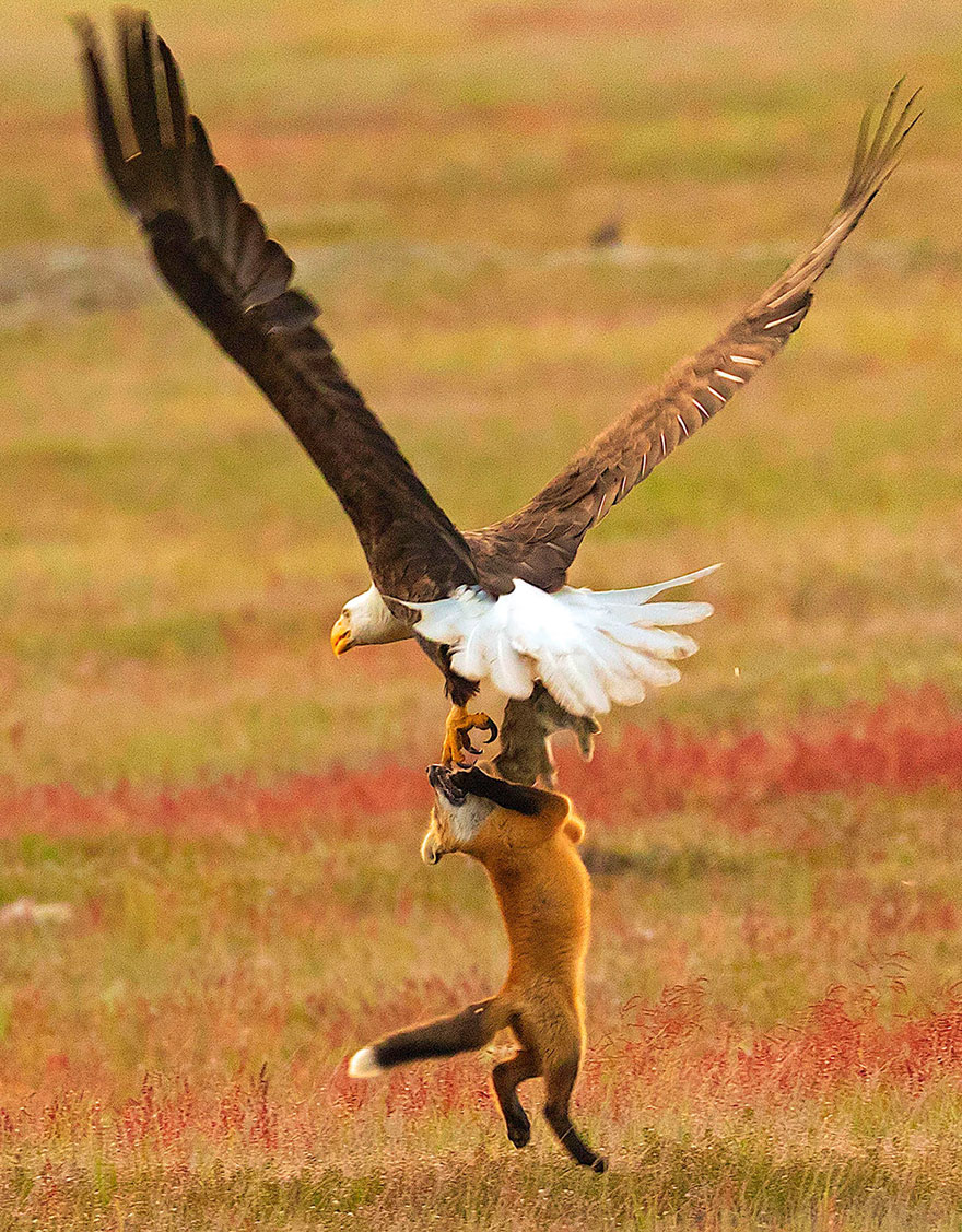 wildlife-photography-eagle-fox-fighting-over-rabbit-kevin-ebi-9-5b0661f5347b7__880 (1).jpg