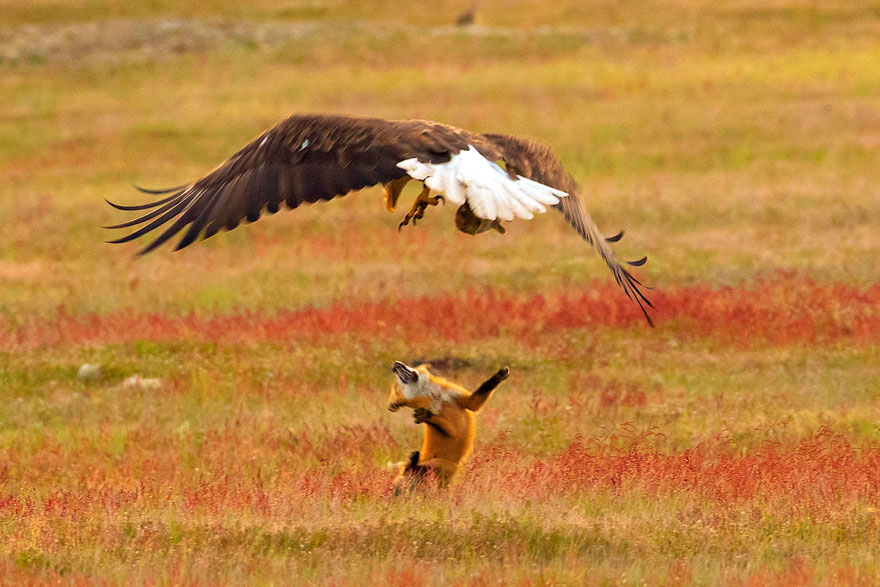 wildlife-photography-eagle-fox-fighting-over-rabbit-kevin-ebi-10-5b0661f6e5d5c__880.jpg