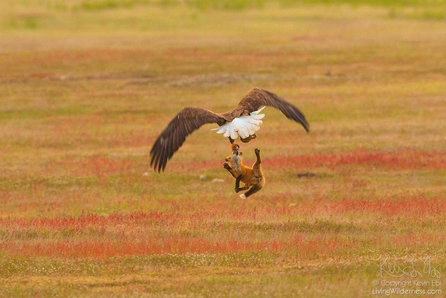 wildlife-photography-eagle-fox-fighting-over-rabbit-kevin-ebi-12-5b0661fa2ab13__880.jpg