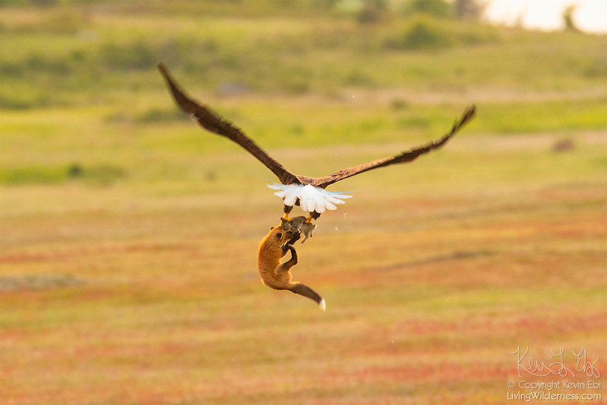 wildlife-photography-eagle-fox-fighting-over-rabbit-kevin-ebi-14-5b0662f18d04a__880.jpg