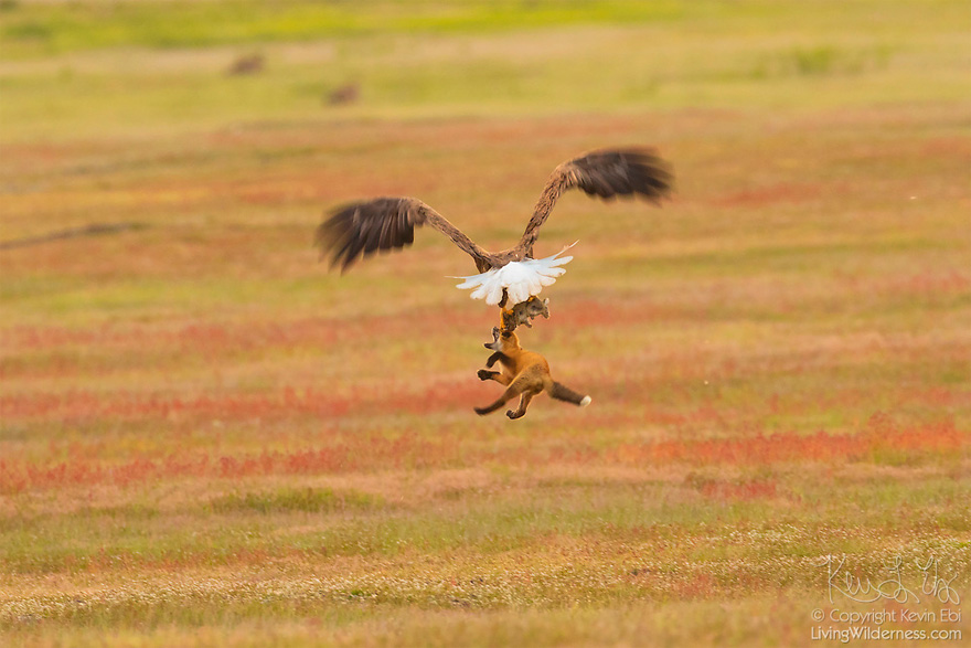 wildlife-photography-eagle-fox-fighting-over-rabbit-kevin-ebi-15-5b066362d8ec7__880.jpg
