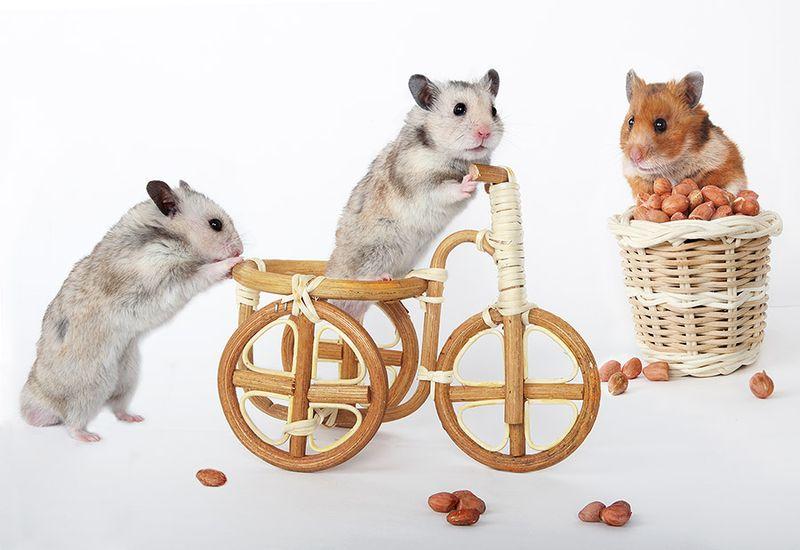 1371113820_hamsters14