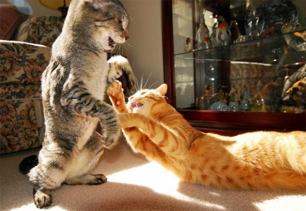 cat-fight-600x415