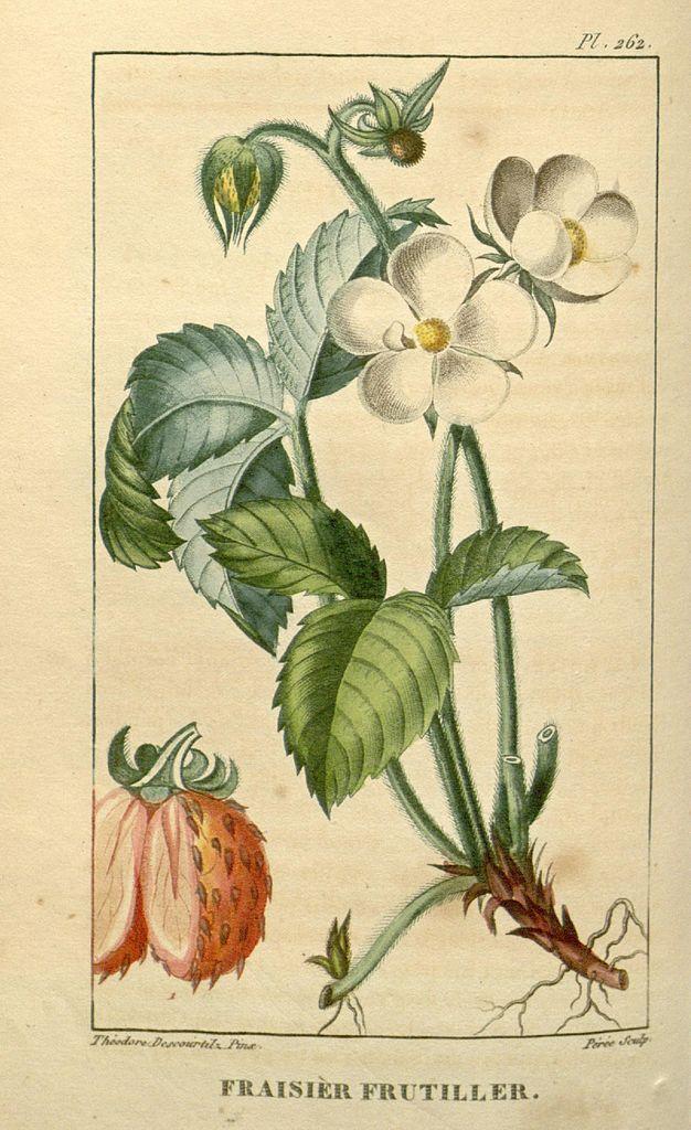 Flore_médicale_des_Antilles,_ou,_Traité_des_plantes_usuelles_(9920334556).jpg
