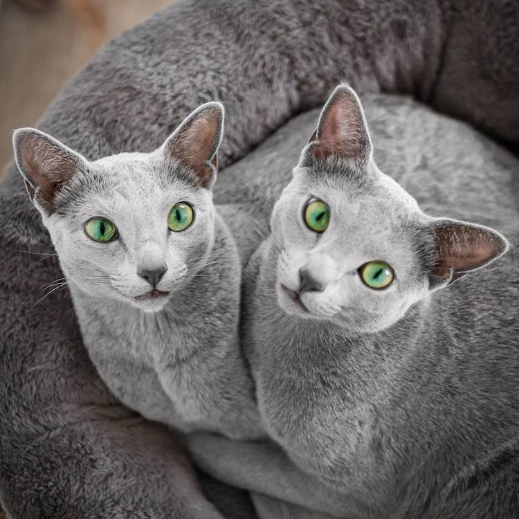 russian-blue-cats-4.jpg