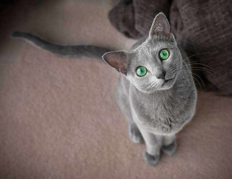 russian-blue-cats-9.jpg