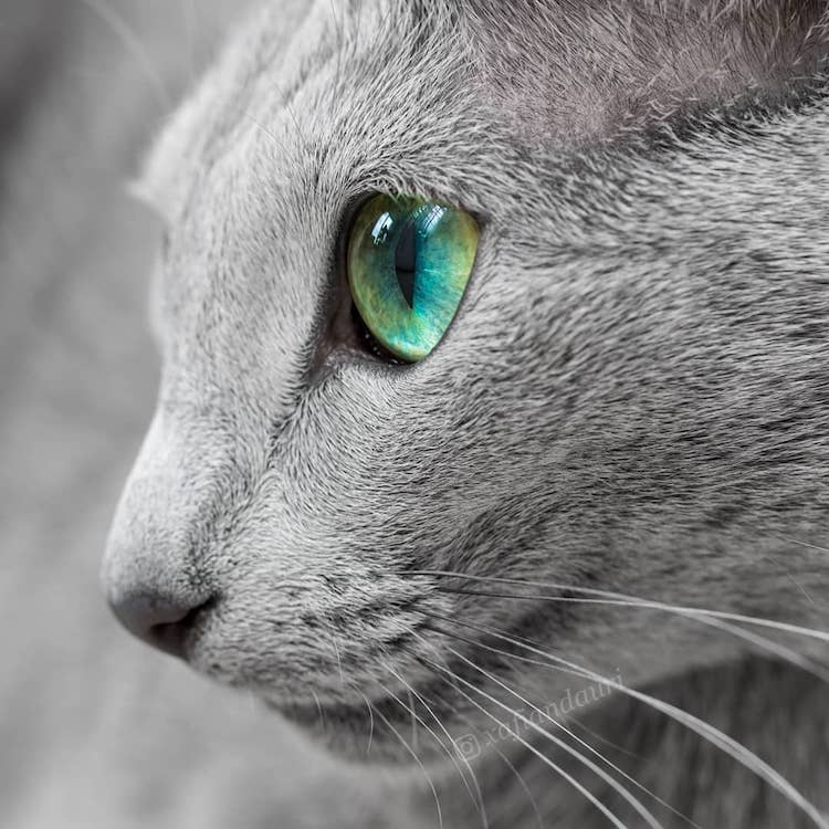 russian-blue-cats-18.jpg
