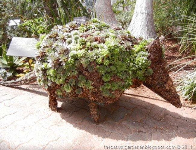 Armadillo succulent