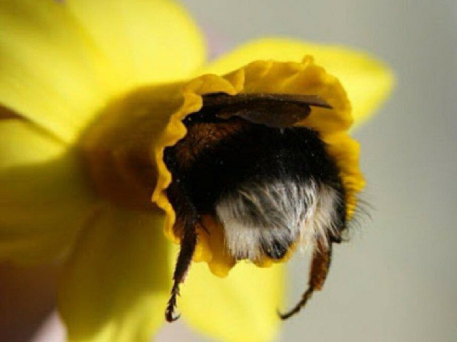 tired-bumblebees3.jpg