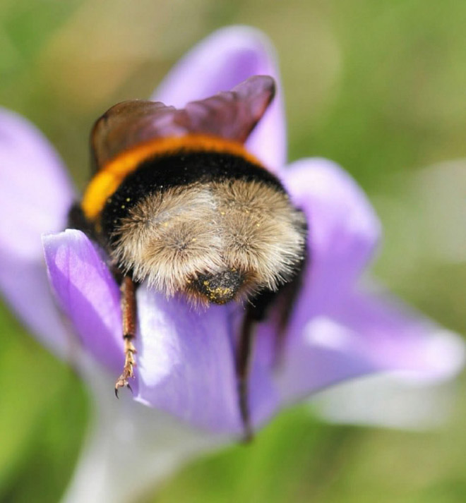 tired-bumblebees4.jpg