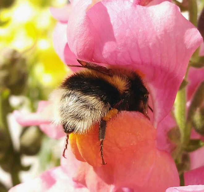 tired-bumblebees5.jpg