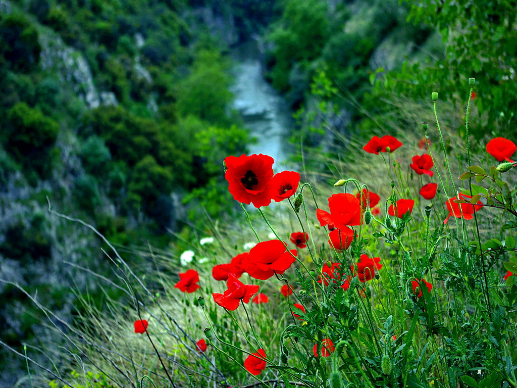 mountain_poppies_view_red_lovely_delicate_nice-hd-wallpaper-713476