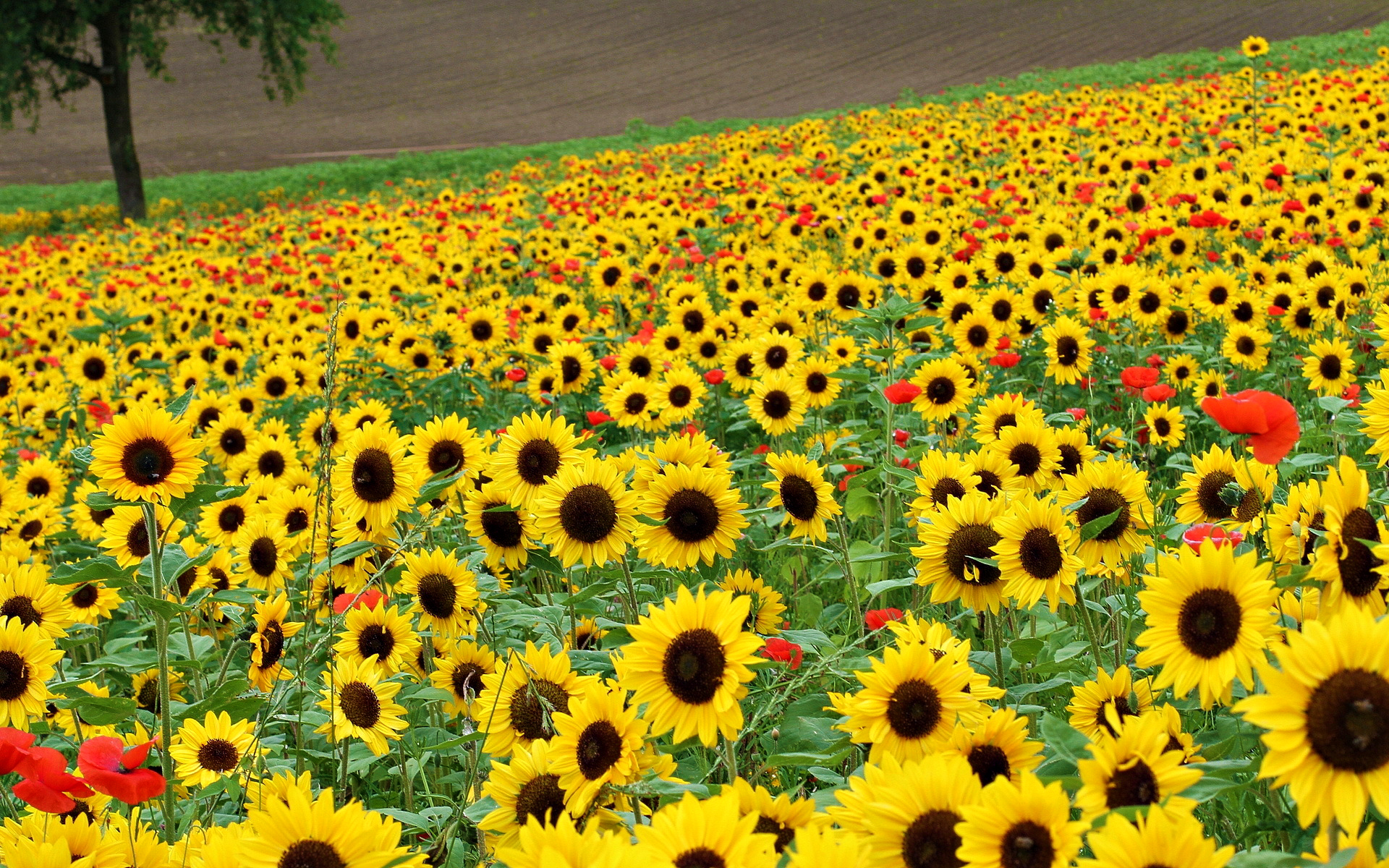 sunflowers_view_red_lovely_field_of_flowers-hd-wallpaper-678210
