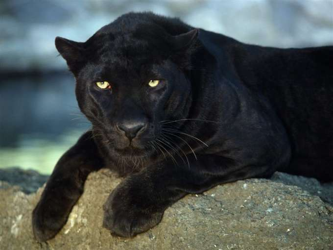 600-Black_Leopard
