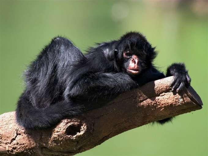 600-Black-Faced_Spider_Monkey