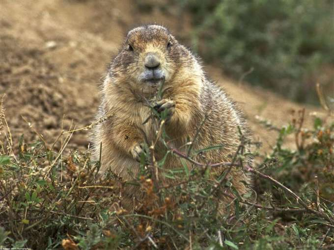 600-Black-Tailed_Prairie_Dog