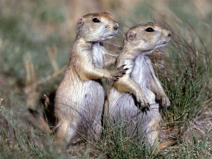 600-Black-Tailed_Prairie_Dogs