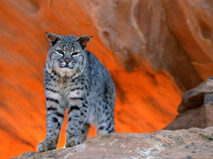 600-Bobcat,_Utah