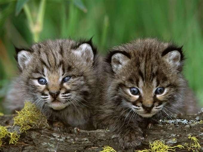 600-Bobcat_Kittens