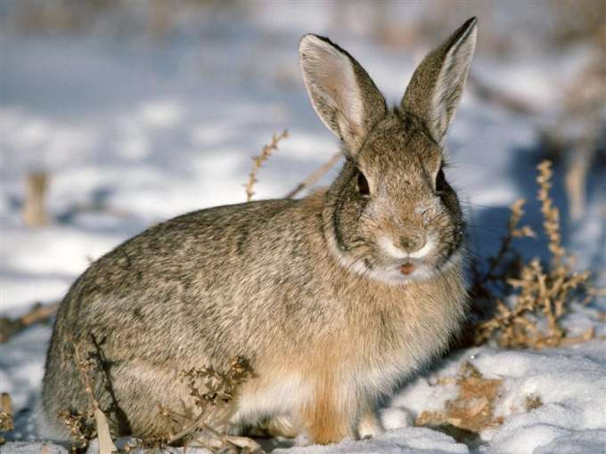 600-Young_Cottontail