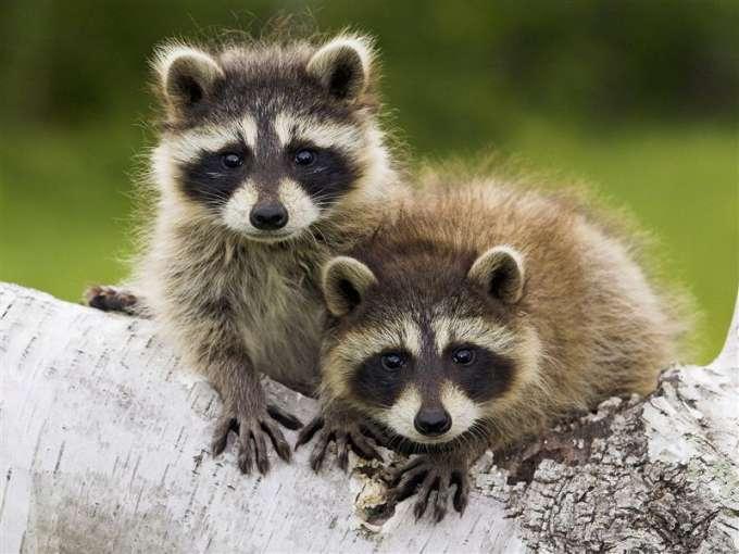 600-Young_Raccoons,_Minnesota